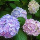 紫陽花がきれいです❀